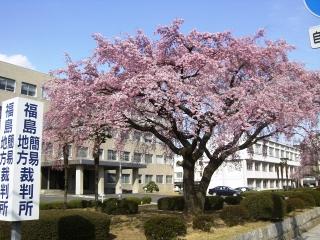 裁判所の桜