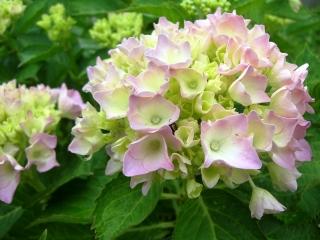 紫陽花'09