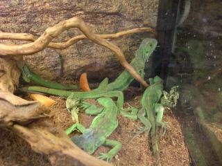 爬虫類もすき!グリーンイグアナ