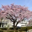 地方裁判所の桜