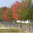 紅葉 並木